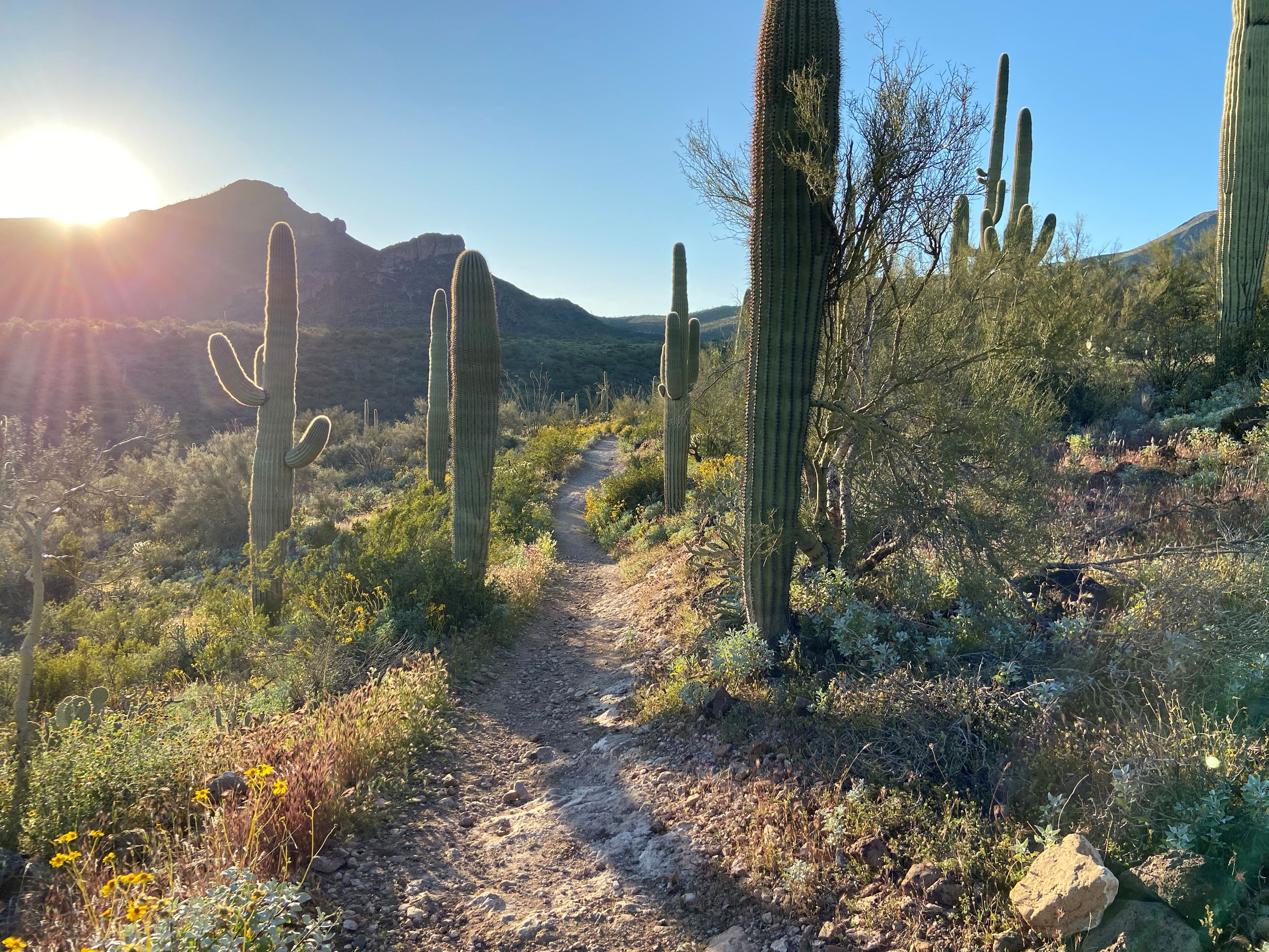Saguaro and desert fauna lit by the sun along the Spur Cross Trail.